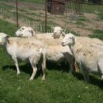 Ewes while on summer pasture at David Redwines in VA