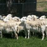 Foundation ewes